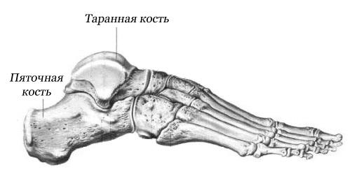 Анатомическое строение стопы